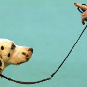 Come abituare il cane al guinzaglio